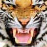 Tommy-tiger